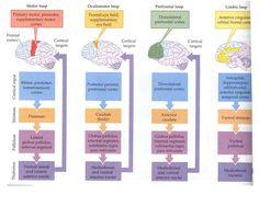 Basal ganglia pathways