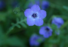 Fiesta Flower - Florais da California