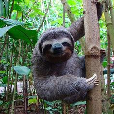 """Costa Rica & mother nature go hand in hand,"" an adorable 3-toed sloth via @visitcentroamerica from INBIOparque! #costarica #sloths #crexperts"
