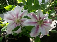 Clematis Andromeda