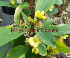 Euphorbia milii Grandiflora Hybr Gelbe Blueten Euphorbia Milii, Home Flowers, Plants, Yellow, Plant, Planets