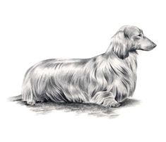 Long Haired DACHSHUND Dog Pencil