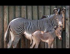 Baby Zebra Makes Debut like mother like daughter