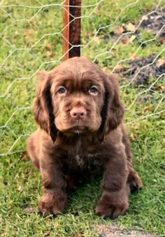 Fell in love with one look at the picture our breeder sent. Sussex Spaniel. xxx