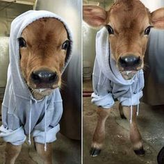 Funny pictures about Baby Cow And Its Hoodie. Oh, and cool pics about Baby Cow And Its Hoodie. Also, Baby Cow And Its Hoodie photos. Cute Baby Animals, Farm Animals, Animals And Pets, Funny Animals, Wild Animals, Beautiful Creatures, Animals Beautiful, Fluffy Cows, Baby Cows