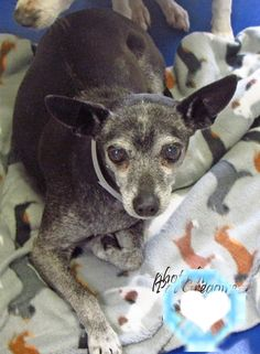 A4442009 My name is Prieta. I am a very sweet 9 yr old spayed female black Chihuahua mix. I came to the shelter as a stray on Jan 8. available 1/13/15 Baldwin Park shelter https://www.facebook.com/photo.php?fbid=906414296037075&set=a.705235432821630&type=3&theater