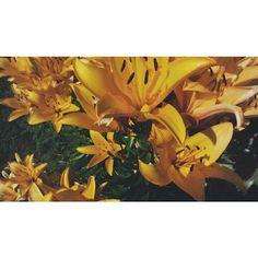Yellow  #flower#summer#hollidays