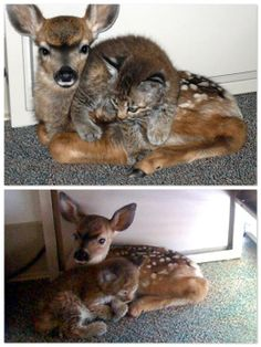 Bobcat and Fawn Find Friendship After Fire (Credit Lisa Mathiasen/ Animal Rescue Team)  A wildfire in Santa Barbara, California, helped forge some unlikely bonds. Rescued from the Jesusita Fire, a 3-week old bobcat kitten and 3 day old fawn became fast friends.
