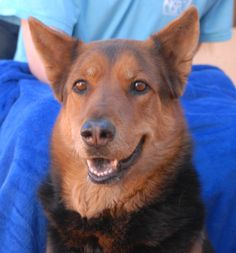 Isabella is a well-behaved, radiant young German Shepherd mix debuting for adoption today at Nevada SPCA (www.nevadaspca.org).  She is good with dog and kids, plus housetrained too.  We admire Isabella's thoughtful personality and warm spirit.  She is 3 years of age, a spayed girl.  Isabella needed us when her previous owners moved into an apartment that would not allow her.