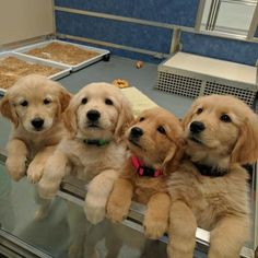 210 Times Golden Retriever Puppies Were The Purest Thing In The World Super Cute Puppies, Baby Animals Super Cute, Cute Baby Dogs, Cute Little Puppies, Cute Dogs And Puppies, Cute Little Animals, Cute Funny Animals, Corgi Puppies, Doggies