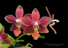 Phalaenopsis Ambotris 'Orangeglow' - Orchid Forum by The Orchid Source
