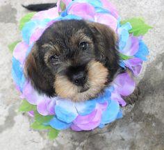 Wirehaired Dachshund Puppies | Mini-Wirehair Dachshund Puppy | Flickr - Photo Sharing!