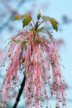 Flores de Arce  Acer negundo californicum  Fotografia de John Glover, uno de los primeros y de los mas importantes fotografos de jardin del Reino Unido