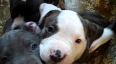 6 week old pitbull terrier puppies