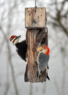 Pileated woodpecker & Red Bellied woodpecker
