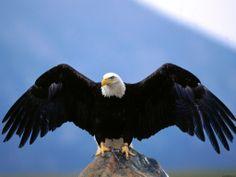 Eagles: Free Wildlife Photos & Wallpaper