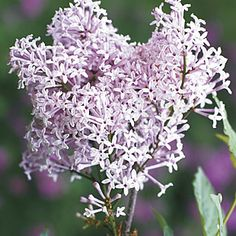 This species has an untraditional, spicy fragrance, and it is one of the most strongly scented lilacs. Hardy Perennials, Flowers Perennials, Syringa, Seeds For Sale, Downy, Flowering Shrubs, Growing Plants, All The Colors, Garden Landscaping