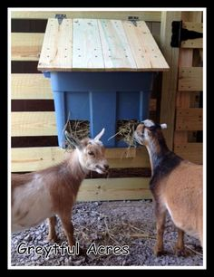 Scarlet & Esmeralda eating from hay feeder - The Best Goat Playground Ideas, Tips, Plans and Images Diy Hay Feeder, Goat Hay Feeder, Mini Goats, Baby Goats, Goat Playground, Playground Ideas, Goat Shed, Goat Shelter, Horse Shelter