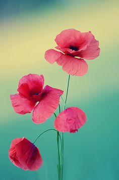 Poppys | Flickr: Intercambio de fotos
