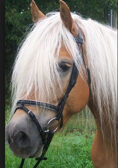 there is nothing like a Haflinger