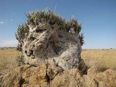 Adenia Pechuelii ( Wüstenkohlrabi)