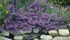 Catmint can be pruned for repeat blooms    Name:  Nepeta X faassenii   Blossom color: lavender-blue  Bloom time: summer  Plant size: 18 inches tall  Zones: 4 to 8