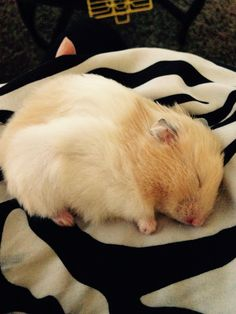 Our new hamster is the sweetest!! she looooves sleep.