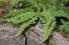 Soft Shield Fern (Polystichum setiferum). Green foliage background fern.