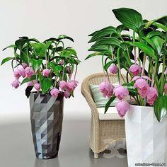 Medinilla MAGNIFICA (Мединилла) - Интернет-магазин - Адениум дома: от семян до растений. Выращивание и уход.