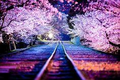 Cherry Blossom/Sakura Trees | Virtual Space Amino