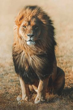 Lion Photography by Charly Savely. Wildlife Nature, Nature Animals, Animals And Pets, Cute Animals, Nature Nature, Flowers Nature, Lion Images, Lion Pictures, Animal Pictures