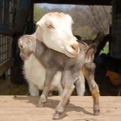 Animals love: Mama goat and her kid via animals-love-photos.blogspot.com