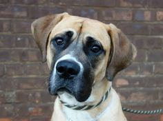 NEEDS MORE SHARES/PLEDGES   FOSTER/RESCUE/ADOPT/PIN  URGENT - Brooklyn Center   SHEEBA - A0984066   ***SAFER: AVERAGE HOME***   FEMALE, BROWN / WHITE, BULLMASTIFF MIX, 1 yr  STRAY - STRAY WAIT, NO HOLD Reason ABANDON  Intake condition NONE Intake Date 11/04/2013, From NY 11414, DueOut Date 11/07/2013,  https://www.facebook.com/Urgentdeathrowdogs/photos_albums#!/photo.php?fbid=703307803015435&set=pb.152876678058553.-2207520000.1383945446.&type=3&theater