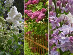 Milyen növényekkel tegyük színesebbé a kertünk, ha az orgona már elvirágzott?