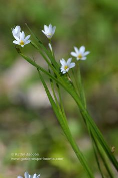 Prairie blue-eyed grass: perennial tiny 1/2-inch white flowers that blooms in spring. Native to the U.S. Full sun to part shade. Good for rock gardens via @gardenexperimnt