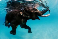 Rajan is the last of the swimming elephants in the Andaman Islands... I'd love to have a dip with him!