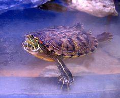 Reptiles - Facts, Characteristics, Anatomy and Pictures - Part 3 - Red-Eared Slider Turtle Turtle Aquarium, Turtle Pond, Aquarium Fish, Turtle Care, Pet Turtle, Turtle Tank Setup, Reptiles Facts, Franklin The Turtle, Types Of Turtles