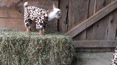 Goats wearing pajamas and playing. Cuteness overload. http://ift.tt/2ru5Ps4