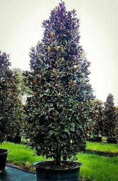 34 Best Magnolia Trees Images On Pinterest Magnolia Trees Tulip