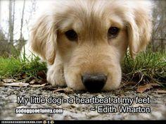 A heartbeat at your feet! | Adorable Golden Retriever puppy