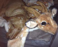 Basset Fauve de Bretagne Scooby al in kerst stemming....