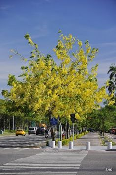 Cassia fistula (Golden Shower Tree) - sun/ls, 36x30, well drained soil, leaves fall off in april, yellow pendulous flowers in May or June, by late july leaves back on. 2nd lesser bloom in Sept (leaves stay on). Fast growth rate, will flower 3 yrs after germination. high drought tolerance. z9b-12b (min 26 f)