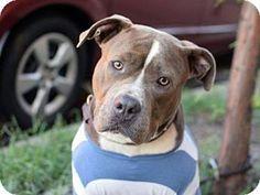 Manhattan, NY - POUND HOUNDS RES-Q, American Staffordshire Terrier Mix. Meet Blue Ivy, a dog for adoption. http://www.adoptapet.com/pet/14132604-manhattan-new-york-american-staffordshire-terrier-mix