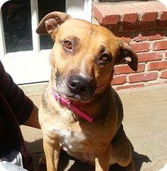 Chatsworth, CA - Australian Cattle Dog/German Shepherd Dog Mix. Meet Layla, a dog for adoption. http://www.adoptapet.com/pet/12727057-chatsworth-california-australian-cattle-dog-mix