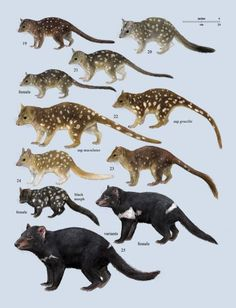Family Dasyuridae (Carnivorous Marsupials)
