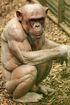 Jambo the bald/hairless Chocolate Chimpanzee (Pan troglodytes) by Amanda J M, via Flickr