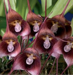 bunch o monkey face orchids Exotic Flowers, Amazing Flowers, Monkey Orchid, Mini Orquideas, Blood Red Color, Weird Plants, Dracula, Flower Pictures, Garden Art