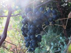 Wild Grape Jelly: Practicing an important homesteading survival skill