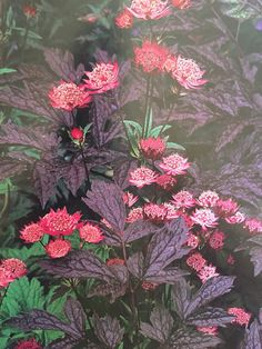Shapely rich maroon leaves of 'brunette' bugbane (Cimicifuga ramosa 'Brunette ') are the perfect foil for cherry red flowers of 'Hadspen Red' masterwork (Astrantia major 'Hadspen Blood')' both plants appreciate regular watering and shade , especially from the afternoon sun