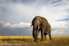 Elephant, Maasai Mara National Reserve in Kenya
